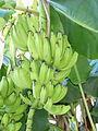 Bananas In Paramaribo.JPG