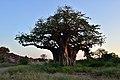 Baobab, Mapungubwe, Limpopo, South Africa (19921665124).jpg