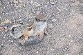 Barbary ground squirrel.jpg