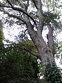 Bark of Ulmus 'Purpurea'.jpg