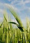 Barley in Slovenia.jpg