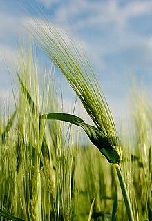 220px-Barley_in_Slovenia.jpg