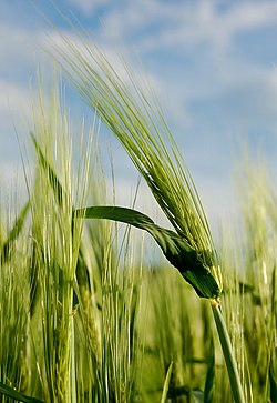 meaning of barley