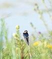 Barn Swallow (Hirundo rustica) (36030075384).jpg