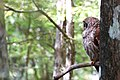 Barred Owl (677665744).jpg