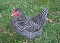 Barred Plymouth Rock Hen 002.jpg
