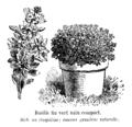 Basilic fin vert nain compact Vilmorin-Andrieux 1904.png