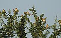 Baya Weaver Ploceus philippinus by Dr. Raju Kasambe DSCN0233 (6).jpg