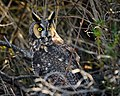Becky Matsubara - Long-eared Owl 2018-01-13.jpg