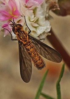 <i>Thevenetimyia</i> genus of insects