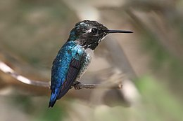 Bee hummingbird (Mellisuga helenae) adult male non-breeding.jpg
