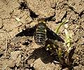 Beefly. Bombyliidae, Hemipenthes morio (43971675995).jpg