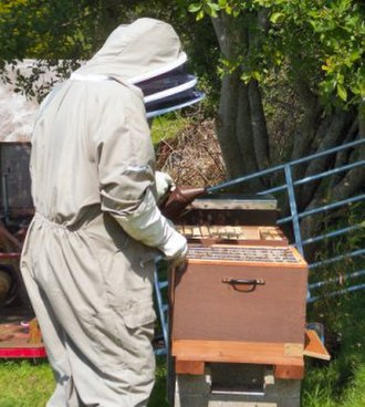 Beekeeper - Two beekeepers in Cornwall, UK, checking their hives and using a smoker.