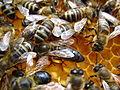 Bees (Queen).JPG
