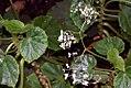 Begonia manicata 1zz.jpg