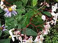 Begonia odorata-xavier cottage-yercaud-salem-India (2).JPG