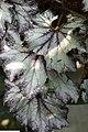 Begonia rex Lalomie 1zz.jpg