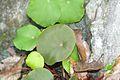 Begonia taraw 4.jpg