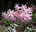 Belladonna lilies. Amaryllis belladonna - Flickr - gailhampshire.jpg