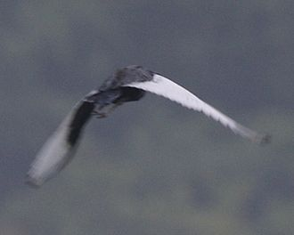 Bengal florican - Adult male taking flight in Kaziranga National Park, Assam (India)