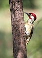 Bennett's Woodpecker, Campethera bennettii at Marakele National Park, Limpopo, South Africa (male) (15658342474).jpg