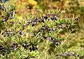 Berberis sanguinea - Quarryhill Botanical Garden - DSC03276.JPG