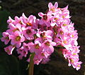Bergenia purpurascens.jpg