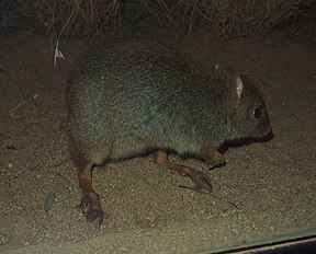 Bettongia penicillata adult.jpg