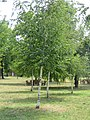 Betula pendula - breza.jpg