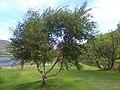 Betula pubescens Eilean Donan.jpg
