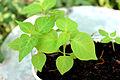 Bhut jolokia plant 30 days.JPG