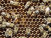 Bienen mit Brut 1.jpg