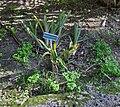 Billbergia nutans001.jpg