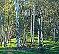 Birch Grove Morning 1-15 (15745810183).jpg