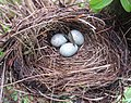 Bird's nest by path - Apr 2013.jpg