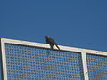 Bird on basketbal board - Madani school - Nishapur 1.JPG