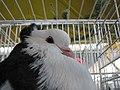 Birds exhibition - Cluj-Napoca - pigeons (3188068815).jpg