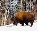 Bison (6744219247).jpg