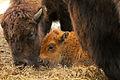 Bison baby Levi (4023207520).jpg