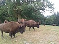 Bisons Monrepos.jpg
