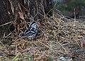 Black-and-white Warbler (documentation photos) (31406915227).jpg
