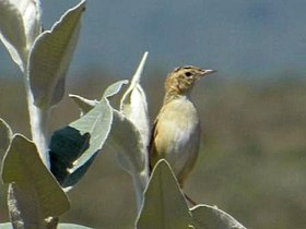 Black-backed Cisticola female JM2.jpg