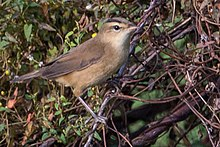 Black-browed Reed Warbler by Jason Thompson (Cropped).jpg