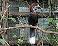 Black-casqued Hornbill RWD2.jpg