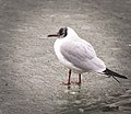 Black-headed gull (32676803051).jpg