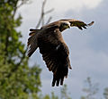 Black Kite 6a (6022951030).jpg