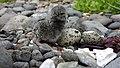 Black Oystercatcher Chick on Aiktak by Mikaela Howie USFWS.jpg