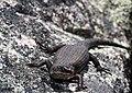 Black Rock Skink (Egernia saxatilis) (8397066651).jpg