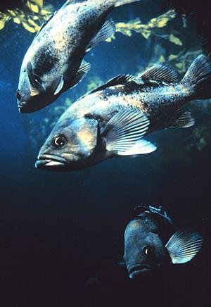 Black Rockfish (Sebastes melanops)