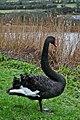 Black Swan (4252567816).jpg